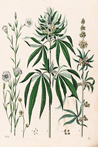 Cannabis Plant Marijuana Illustration 1853 Art Print Poster 24x36 -