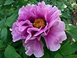 Choujyuraku Lavender Tree Peony - Double Blooms - 2 Year Bareroot