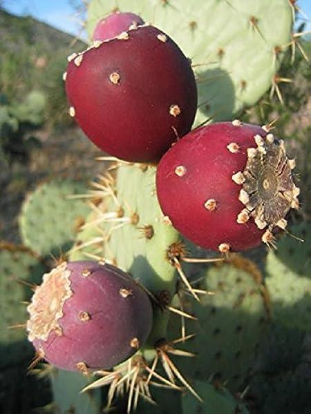 Opuntia Ficus-Indica Prickly Pear 20 Kaktusfeige Samen Saatgut