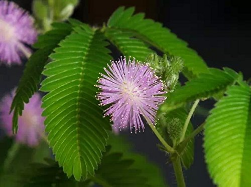 Mimosa Pudica (Sensitive Plant / Touch-me-not) Creeping Perennial 500 Seeds