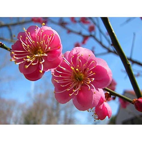 Japanese Apricot, (Chinese Plum), Prunus Mume, 3 Tree Seeds (Showy, Edible) free shipping