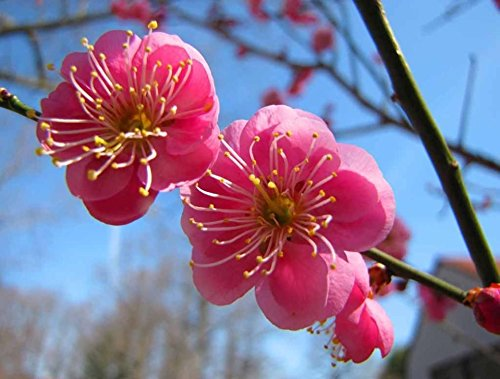Japanese Apricot, (Chinese Plum), Prunus Mume, 3 Tree Seeds (Showy, (Japanese Plum Tree)