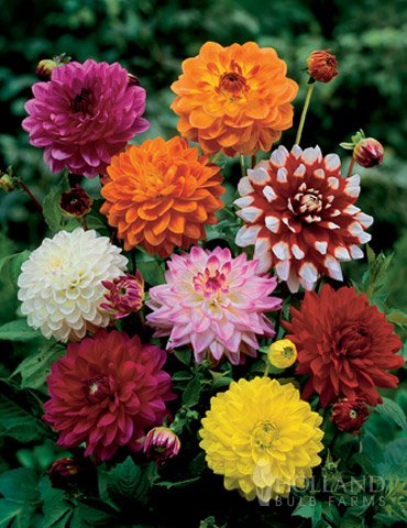 (Mixed Unwin Dwarf Dahlias Value)