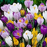 20 Jumbo Crocus Mixture Bulbs-- Fall planting!