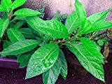 "Longevity Spinach - Sabuñgai - Gynura procumbens - Edible Houseplant - 4"" Pot"