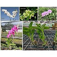 Dendrobium Orchid Live Plants (Assortment Pack of 4 Colors)