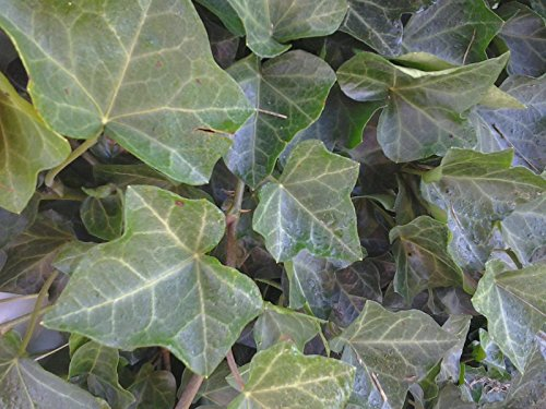 (5 BALTIC IVY- SUB ZERO Bare root (Hedera helix) 5 plants)