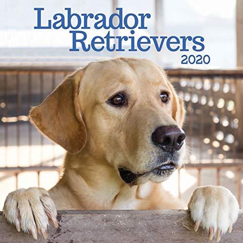 Labrador Retrievers 2020 Calendar by