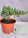 Japanese Juniper Bonsai Starter Tree - 4'' pot - Juniperus procumbens 'Nana'+Bonsai Fertilizer Slow Release By-jmbamboo