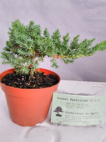 japanese-juniper-bonsai-starter-tree-4-pot-juniperus-procumbens-nana-bonsai-fertilizer-slow-release-