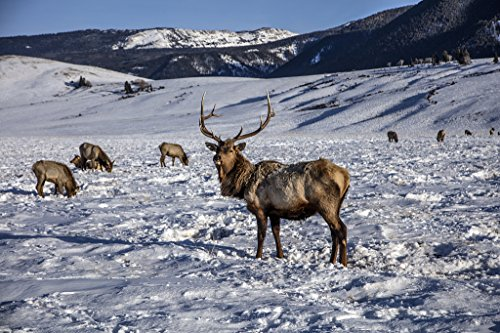 24 x 36 Giclee Print of Handsome specimens at The U.S. Fish & Wildlife Service's elk Refuge in Jackson Hole Wyoming a Valley on The Edge of Grand Teton National Park r41 42407 by Highsmith, Carol