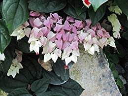 bleeding-heart-vine-clerodendrum-thomsoniae