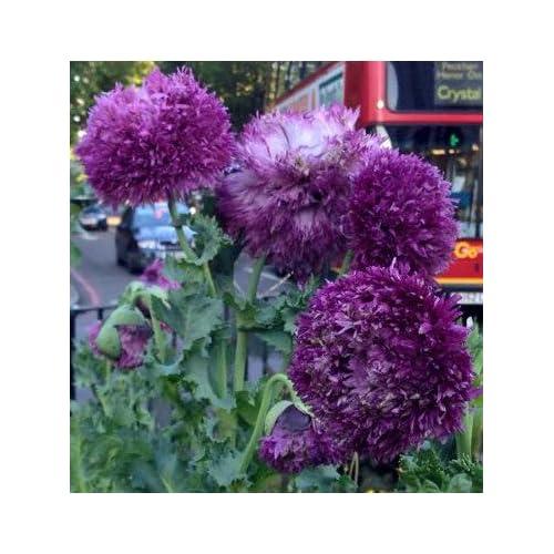 Perennial seeds amazon papaver somniferum peony purple poppy 05g approx 1250 seeds mightylinksfo