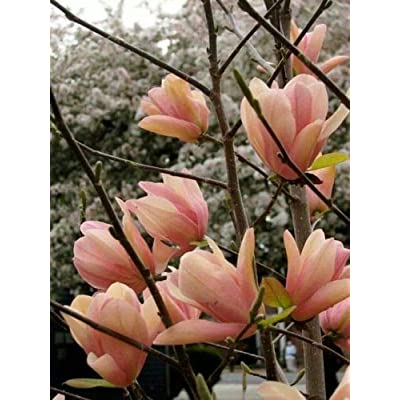 5 Coral Lake Magnolia Seeds Lily Flower Tree Fragrant Tulip Magnol Liliiflora : Garden & Outdoor