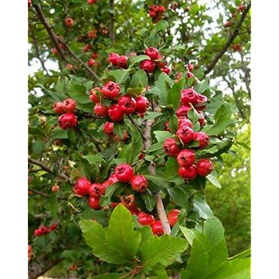 Crataegus opaca MAYHAW Fruit Tree Seeds! : Garden & Outdoor