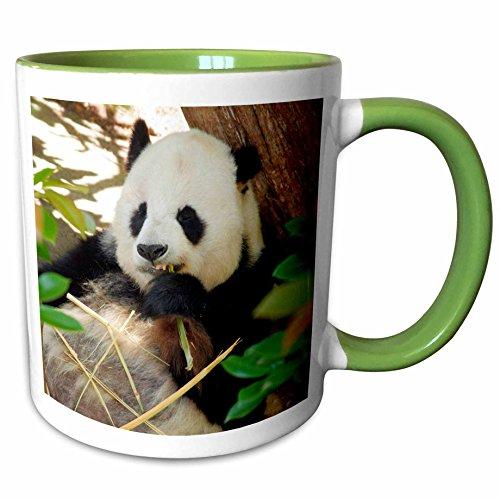 3dRose Danita Delimont - Peter Bennett - Bears - San Diego Zoo, Panda, California, USA - 15oz Two-Tone Green Mug (mug_191694_12) ()