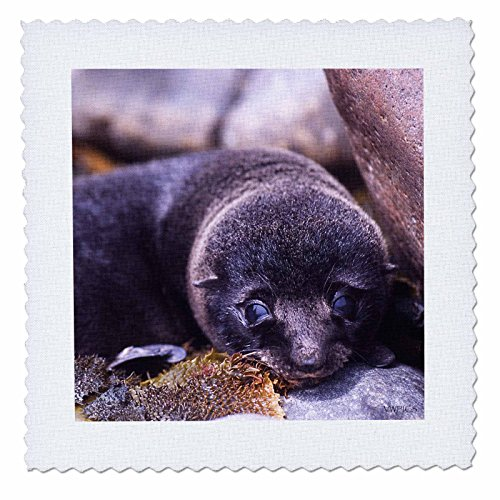 New Zealand Fur Seal - 3
