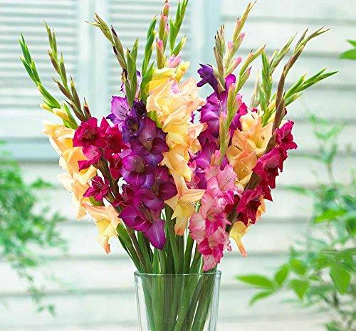 Gladiolus Mix - Mardi Gras Mix Large Flowering Gladiolus 10 Bulbs
