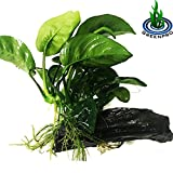 GreenPro (Anubias Barteri Butterfly) Anubias, Java Fern, Moss and more! Freshwater Live Aquarium Plants on Driftwood For Aquatic Tropical Fish Tank Decorations - Easy to Drop by