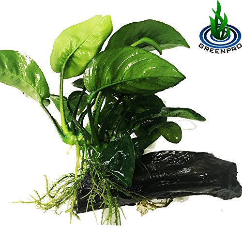 Greenpro (Anubias Barteri Butterfly) Anubias, Java Fern, Moss and More! Freshwater Live Aquarium Plants on Driftwood for Aquatic Tropical Fish Tank Decorations - Easy to Drop