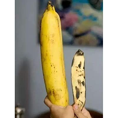 HOTUEEN Rare Giant Banana Seeds Fruit Trees Bonsai Home Garden Planting Fruits : Garden & Outdoor
