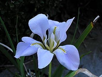 Iris Unguicularis Winter Flowering Iris Hardy Perennial 9cm Pot