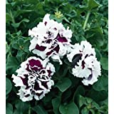 Double CASCADE PURPLE PIROUETTE PETUNIA Seeds - Huge Double Blooms, High Germination, Fresh Seed (30-35 seeds)