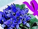 Viola - Odorata - 50 Seeds