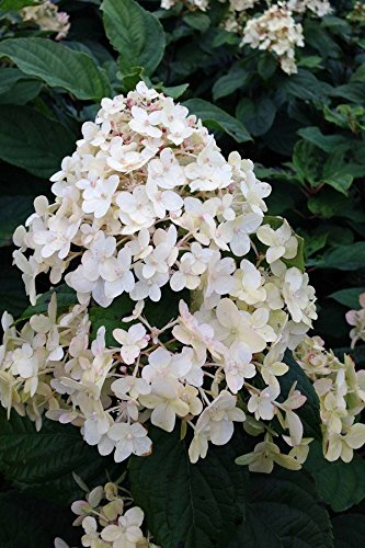 Proven Winners Limelight Hardy Hydrangea (Ornamental, Bush, Butterfly Bush, Pink Flowers), 3 Gallon