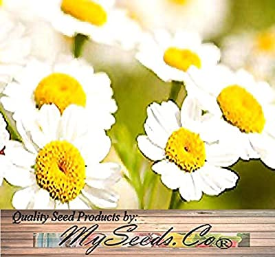 30 x PYRETHRUM DAISY SEEDS - Chrysanthemum cinerariifolium - PYRETHRUM Used To KILL BUGS INSECTS ~ NATURAL MOSQUITO REPELLENT - Hardy Zones 4-9 - By MySeeds.Co