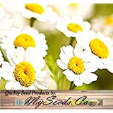 30 PYRETHRUM DAISY SEEDS KILL BUGS INSECTS ~ NATURAL MOSQUITO REPELLENT ~~