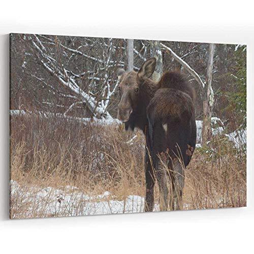 Actorstion Young Moose in Hillsboro Canvas Art Wall Dector,NH 36