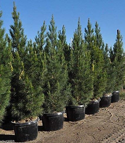 Pinus eldarica-ის სურათის შედეგი
