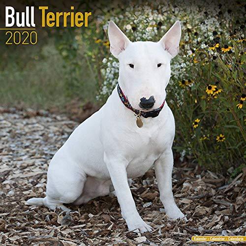 (Bull Terrier Calendar - Dog Breed Calendars - 2019 - 2020 Wall Calendars - 16 Month by Avonside (Multilingual)