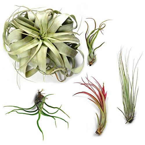 5 Pack Large Tillandsia Air Plants - Xerographica, Juncea, Bulbosa, Caput Medusae & Circinata - 30 Day Guarantee - Succulents - House Plants - Free Air Plant Care eBook By Jody James