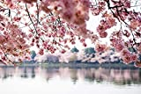 Washington, DC - Cherry Blossoms over Tidal Basin - Photography A-93369 (12x18 Fine Art Print, Home Wall Decor Artwork Poster)