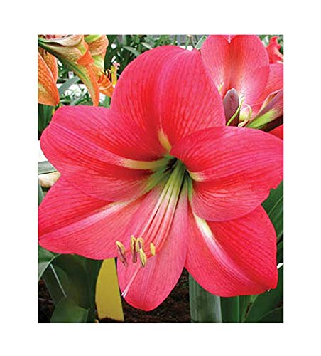(Special Sale: Pink Flush Amaryllis Bulb - Pink with White Star)