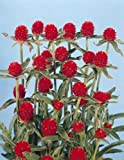 Gomphrena Haageana Qis Series Red Annual Seeds