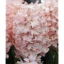 5 Cotton Candy Hyacinth Bulbs