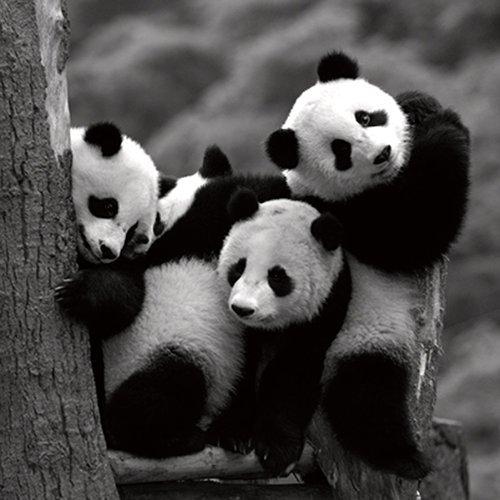 panda pictures - 4