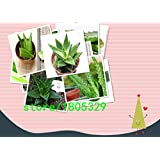 200 Aloe Seeds Mix - Excellent Houseplants succulent ALOE VERA SEED