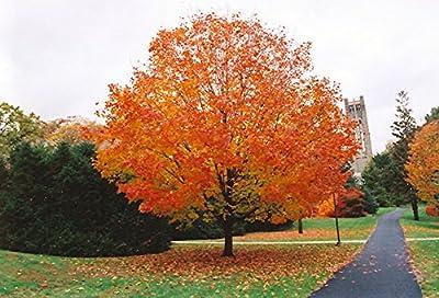 10 Seeds Acer Saccharum (Sugar Maple) Maple Sugar Tree