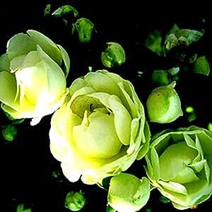 Flores de semillas para la escalada jardín de rosas 20pcs Floer Plantas PROMOCIÓN GREAT plantadores Bonsai