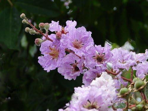 Amazon Com 35 Lilac Light Purple Crepe Myrtle Lagerstroemia
