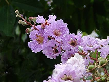 35 LILAC Light Purple CREPE MYRTLE Lagerstroemia Flowering Shrub Bush Small  Tree Seeds