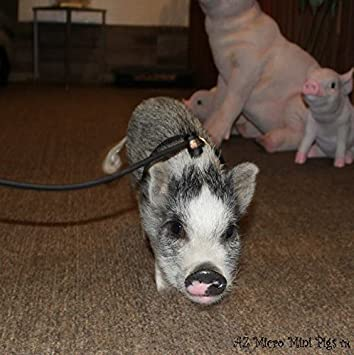 Mini Pig Harness Adjustable Also Fits Pot Bellied Pigs And Other Small Animals Ferret Rabbit Dog Cat