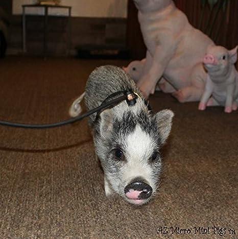 Amazon.com : Mini Pig Harness (Black) : Pet Supplies