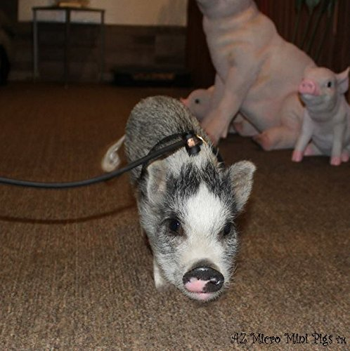 Pots Harness (Mini Pig Harness (Black))