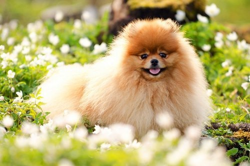 YISUMEI 40x50 Blanket Comfort Warmth Soft Plush Throw for Couch Pomeranian A Art ()