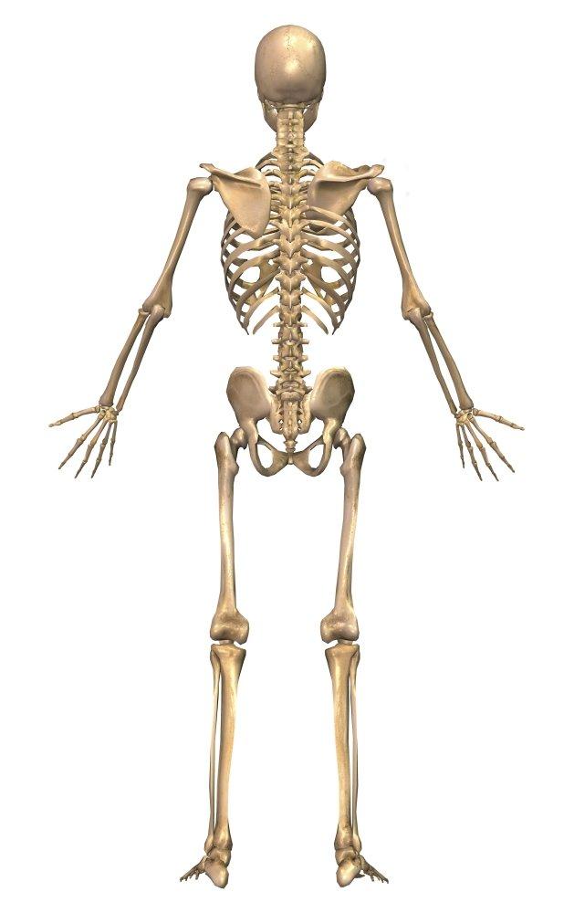 Amazon Human Skeletal System Back View Poster Print 22 X 35